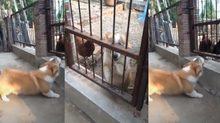 Chó cậy gần nhà là có thật