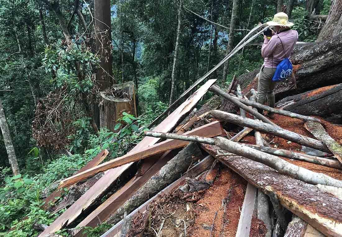 Nghệ An thông tin về rừng sa mu trăm tuổi 'ứa máu' trên đỉnh Phu Lon