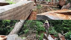 """Nghệ An thông tin về rừng sa mu trăm tuổi """"ứa máu"""" trên đỉnh Phu Lon"""