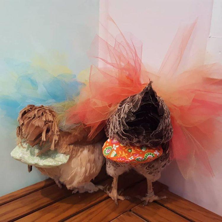Kiếm tiền tỷ nhờ sản xuất bỉm cho... gà