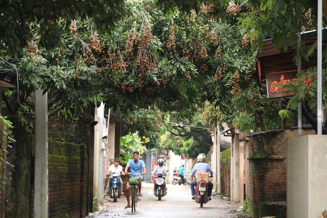 Cây nhãn tổ 130 tuổi ở Hà Nội cho 8 tạ quả một mùa