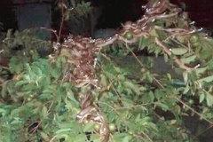 Đêm sang nhà hàng xóm trộm ổi, cô nàng lạnh sống lưng khi thấy hàng trăm ánh mắt nhìn mình từ trên cây