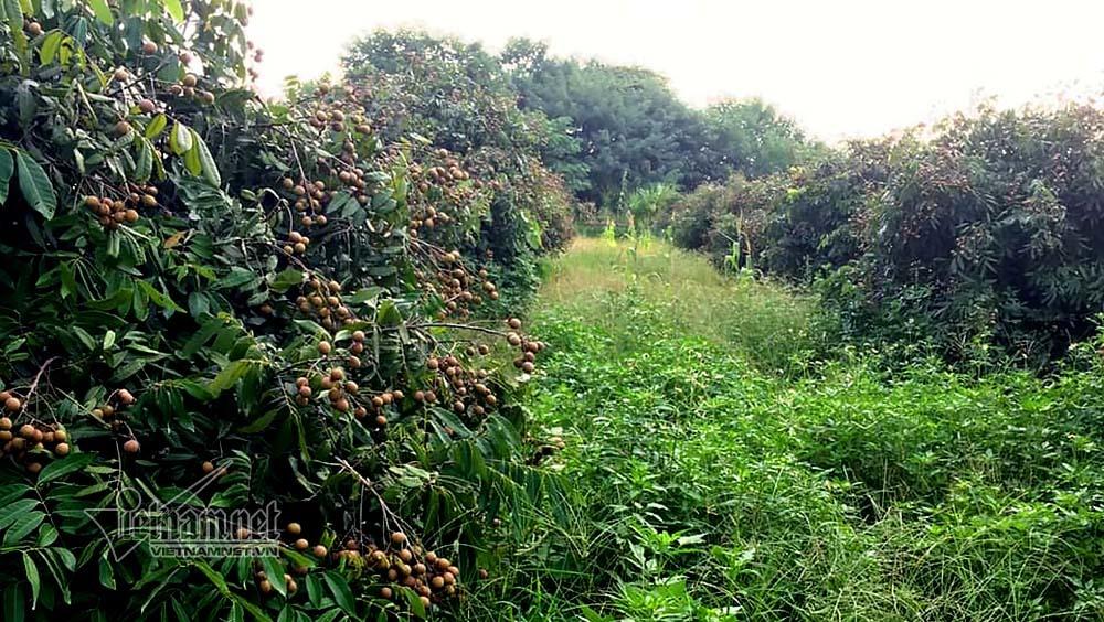 Điêu đứng nhìn vườn nhãn hơn 3.000m2 ven sông Hồng bị kẻ lạ san phẳng
