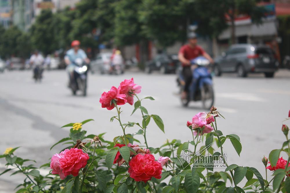 Hoa hồng,Con đường hoa,Giao thông Hà Nội