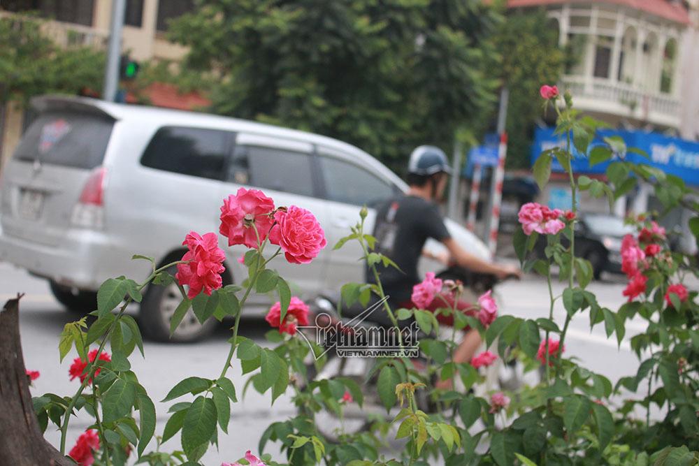 'Con đường hoa hồng' đầu tiên tuyệt đẹp giữa Hà Nội