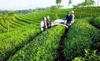 Trung Quốc mượn tên công ty Việt tranh mua trà ở Việt Nam