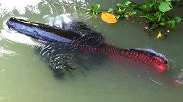 Đại gia Việt 'săn' thủy quái lớn nhất thế giới về thả ao chơi vui