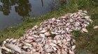 Hà Nội: Cả tấn cá chết trắng gần bãi rác sau đợt mưa