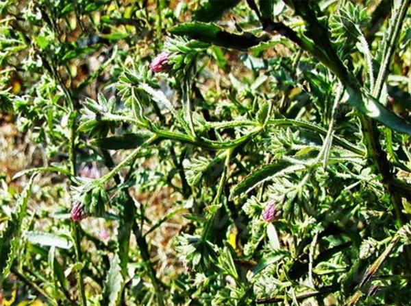 Cúc Lục Lăng - cây thuốc quý bảo vệ amidan