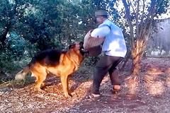 Hà Nội: Can 2 chó béc giê đánh nhau, người chủ bị chó cắn chết