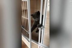 Xem mèo tự kéo then, mở cửa chuồng