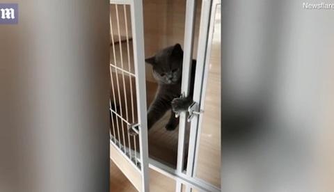 mèo tự kéo then, mở cửa