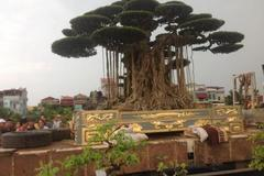 Đại gia Thái Bình: Chậu dát vàng, trồng cây cảnh bạc tỷ