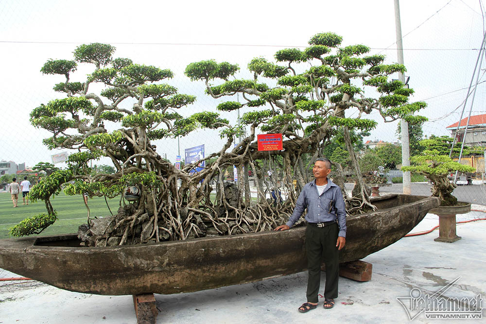 cây cảnh,Nam Định,cây sanh