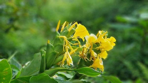 Tìm ra hoạt chất hỗ trợ trị viêm đại tràng trong cây Ngải tiên