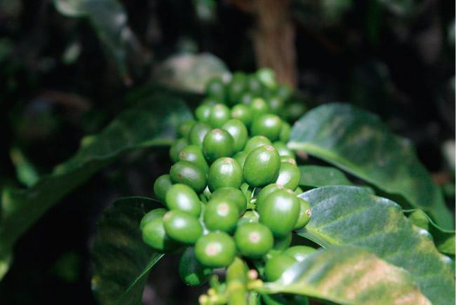 Giá cà phê hôm nay 28/9: Nguồn cung tăng mạnh