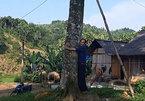 """2 """"cụ"""" cây quế vàng khủng ngã giá cả ngàn đô ở thủ phủ quế Văn Yên"""