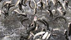 Đàn cá kỳ lạ nhất Việt Nam: Hô 1 tiếng cả ngàn con bay lên nhảy múa