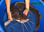Câu được cá trê khổng lồ 27kg, xẻ thịt mừng U23 Việt Nam