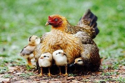 Mắt ngấn lệ trước hành động của gà mẹ che chở cho đàn con giữa trời mưa bão