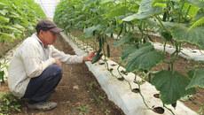 Xuất ngoại trồng dưa leo, Việt kiều cuốc đất dựng nghiệp trên đất Úc