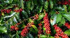 Giá cà phê hôm nay 5/9: Đứng trước nguy cơ khủng hoảng