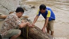 Nghệ An: Đi vớt củi trúng báu vật trăm tuổi giữa dòng nước lũ