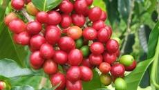 Giá cà phê hôm nay 25/9: Thị trường trầm lắng