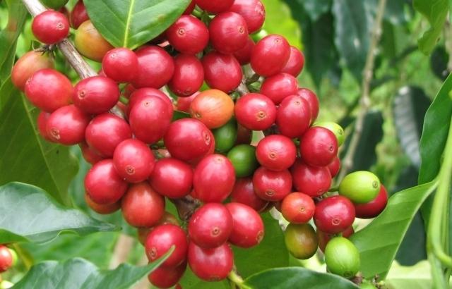 Giá cà phê hôm nay 10/9: Giá tăng nhẹ