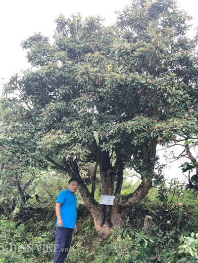 đỗ quyên,cây cảnh,Lào Cai