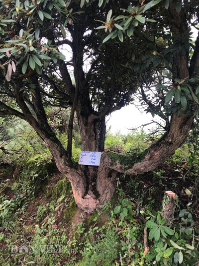 'Cụ' đỗ quyên ngai vàng trăm tuổi hiếm có khó tìm ở Việt Nam