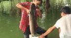 Câu trộm được con cá trê khổng lồ hàng chục kg ở Hồ Gươm