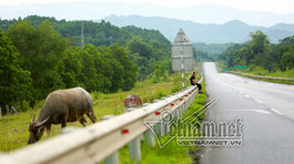 Xé rào, lùa trâu sát mép cao tốc dài nhất Việt Nam