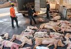 Dịch tả lợn châu Phi 'tấn công' châu Á, hiện chưa có thuốc chữa