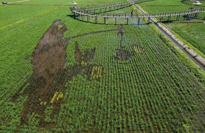 ruộng lúa,vẽ tranh trên lúa,Trung Quốc