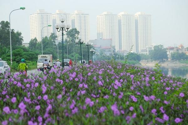 Ven sông Tô Lịch xuất hiện con đường hoa tím nên thơ