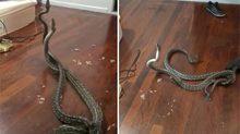 """Phát hoảng vì cặp rắn lạ chui vào nhà """"đại chiến"""" giành bạn tình"""