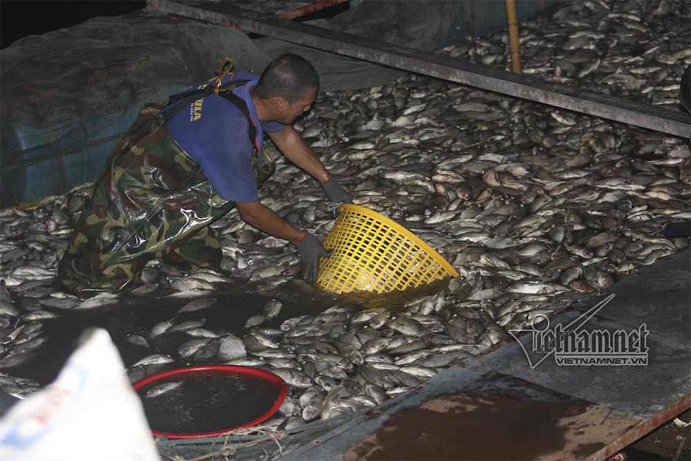cá chết,hồ Tây,cá chết hồ Tây,Hà Nội