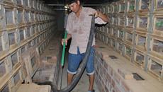 Rùng mình ổ rắn hổ mang hơn 1.000 con ở Động Đạt - Thái Nguyên