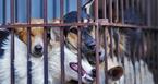 Ăn thịt chó là văn hoá?