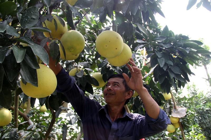 Vườn bưởi 8.000 quả hiếm có của lão nông Phúc Trạch