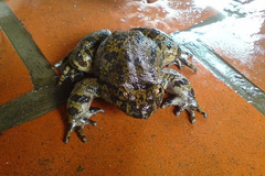 Cơn sốt ếch tiến vua, thần dược phòng the nổi tiếng xứ Lạng