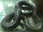 Làng nuôi rắn thu bạc tỷ của thủ đô giờ ra sao?
