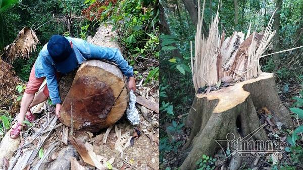 Chủ tịch TT-Huế nói gì khi rừng phòng hộ A Lưới bị chặt hạ?