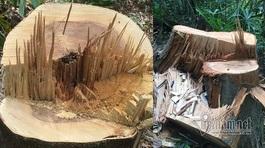 Vụ phá rừng phòng hộ A Lưới: Công an vào cuộc