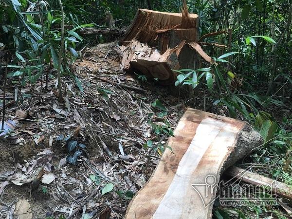 phá rừng,rừng phòng hộ,lâm tặc,Thừa thiên Huế