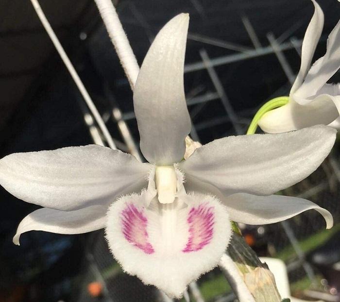 lan đột biến,lan 5 cánh trắng,hoa lan,Đà Nẵng