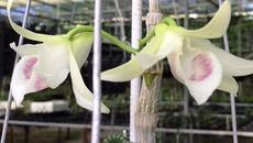 Giống lan 6,8 tỷ đồng và những thương vụ hoa lan tiền tỷ ở Việt Nam