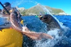 Du khách bị hải cẩu ném bạch tuộc vào mặt