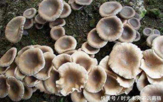 Loài mọc hoang ở vùng quê nhưng giá gần 7 triệu/kg